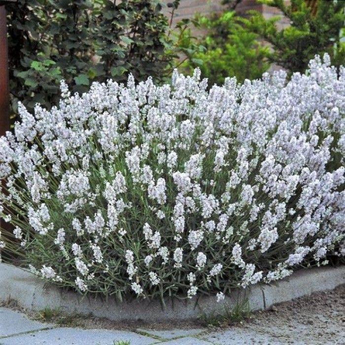 Lavandula angustifolia Edelweiss nu te koop!